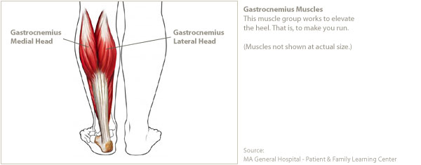 The Muscles of the Calf - Gastrocnemius